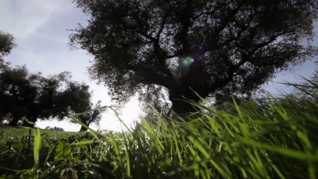 Olive Tree in the land of Sabina, Italy video
