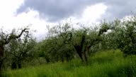 olive tree in Tuscany video