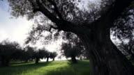 Olive Tree, Italy video
