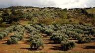 Olive tree landscape video