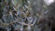 Olive tree leaves video