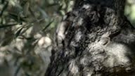 Olive tree trunk and bark video