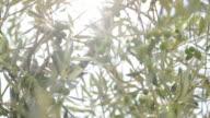 Olive tree Tuscany, italy video