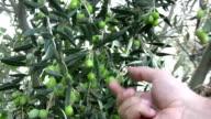 Olive Tree video