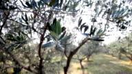 HD SLIDE: Olive tree video