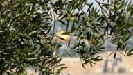 Olive Tree with Dome of the Rock video