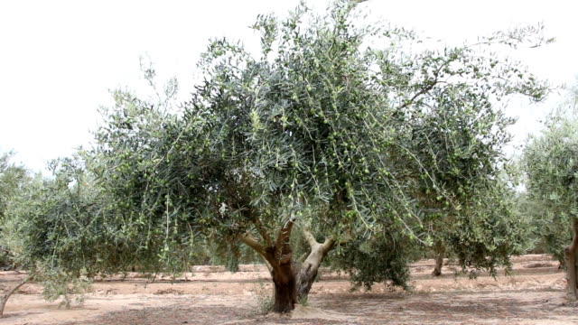 Olive Tree With Green Olives video