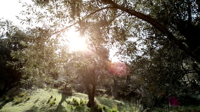 Olive trees with sun flare video