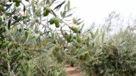 Olive Trees With Unripe Olives video