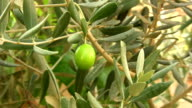 Olive video