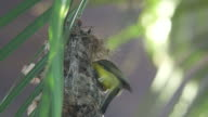 Olive-backed sunbird bringing waste out of the nest video