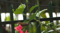 Olive-backed sunbird eating close-up video