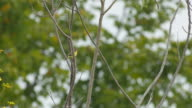 Olive-Backed Sunbird is resting and flying video