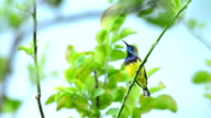 Olive-backed Sunbird perch on branch and singing video