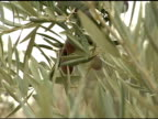 Olives and Branches video