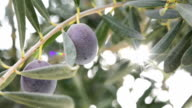 Olives on the branch video