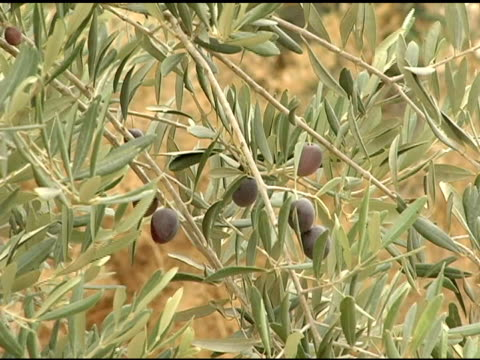 Olives on the Olive Tree video