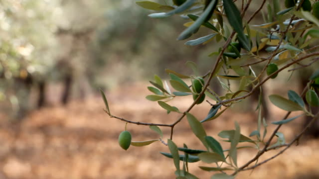 Olives On the Tree, HD 1080 Clip video