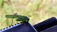 Omnivorous locust video