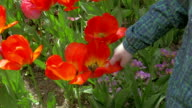 On a sunny day a little boy in the garden smelling the tulips and looks to the flowers video