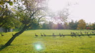 On green meadow walks flock of Canada Geese. Clear autumn day, at sunset. Park in Buffalo, USA video
