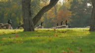 On green meadow walks flock of Canada Geese. Clear autumn day in front of the sunset in one of the parks in Buffalo, USA video