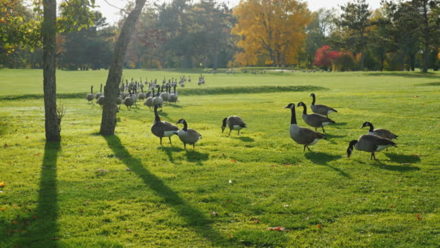 On green meadow walks flock of Canada Geese. Clear autumn day, Long shadows before sunset video