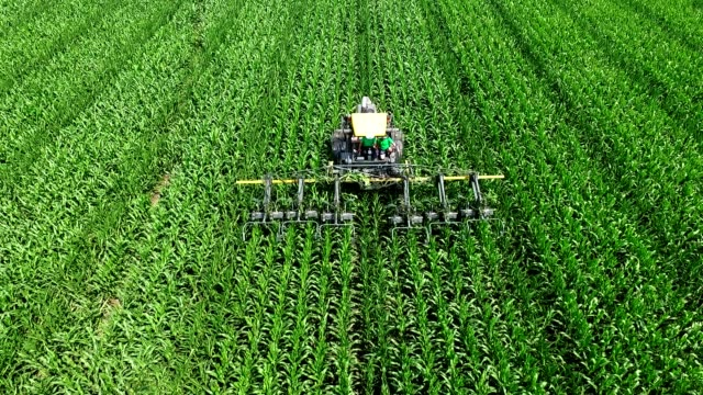 On the corn field there is a tractor, a machine that parses, removes lateral young shoots of corn, increasing the yield of the cornfield.Corn cultivation.Summer sunny day. aerial video video
