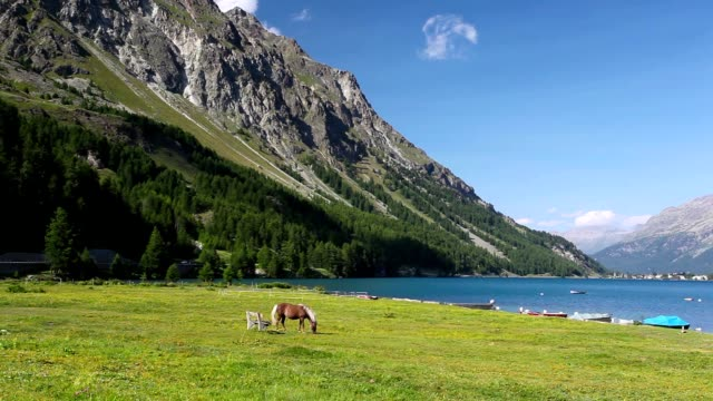 On the pasture near the Lake Sils. video