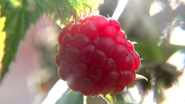 One Big Blump Ripe Raspberry video