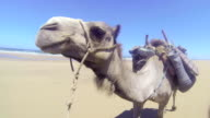 One camel, head close, walking along beach, wide angle, handheld video