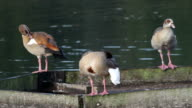 HD video three Egyptian geese Alopochen aegyptiacus preening video