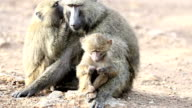 One eye blind Mother Baboon video