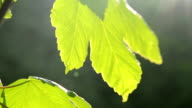 One green leaf of the tree in the sun close-up video