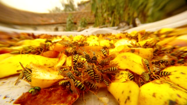 One Hundred Wasps Gobble Up Chopped Apples Close Up video