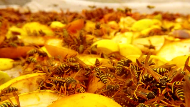 One Hundred Wasps Swarm in Chopped Pears and Fly Macro video
