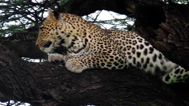 one Leopard on tree video