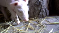 One little pig finding food. FullHD video