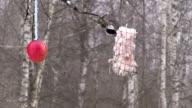 One Marsh tit eating lard fat in winter bird feeder video