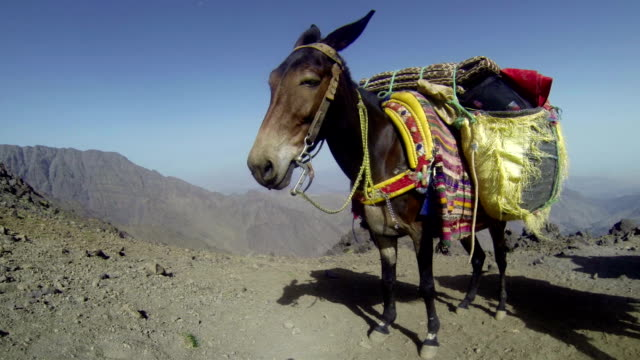 One Mule standing at high altitude mountain pass with luggage video