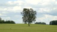 One of the few birch tree in the field video