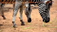 one zebra eat video