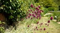 Onion flowers at a botanical garden video