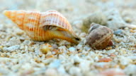 only small dirty Hermit crab starts walking video