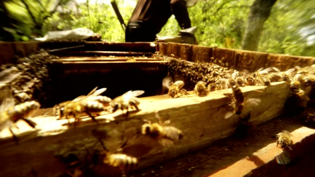 Opened Hive Full Bees on Background Bee Smoker Fumes and Hiver video