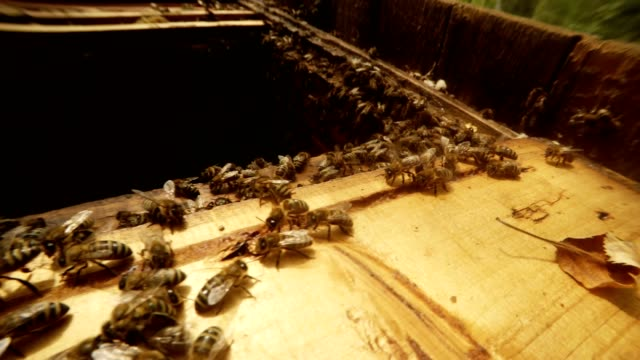 Opened Hive Full of Creeping Bees Close up video