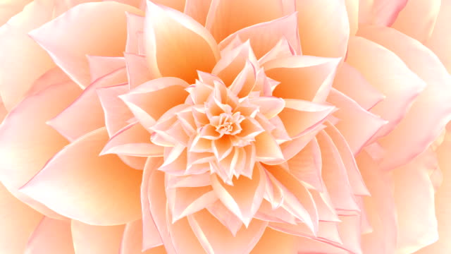 Opening Of The Pink Flower. Looped. video