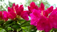 Opening red rhododendron buds in early spring video