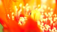 Opuntia ficus-indica flowers macro 4K video
