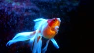 Oranda goldfish floats in an aquarium video